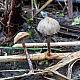 Деконика листовая (Deconica phyllogena)