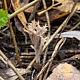 Клавулина пепельно-серая (Clavulina cinerea)