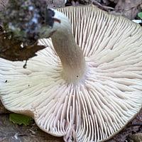 Энтолома садовая (Entoloma clypeatum)