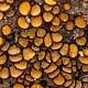 Скутеллиния щетинистая (Scutellinia setosa)