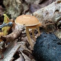 Тубария отрубистая (Tubaria furfuracea)