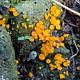 Хейлимения грязная форма альпийская (Cheilymenia stercorea f. alpina)
