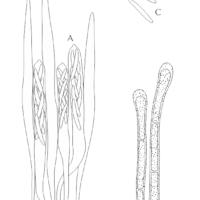 Лахнум босоногий (Lachnum nudipes). Микроструктуры.