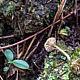 Лихеномфалия зонтиконосная (Lichenomphalia umbellifera)