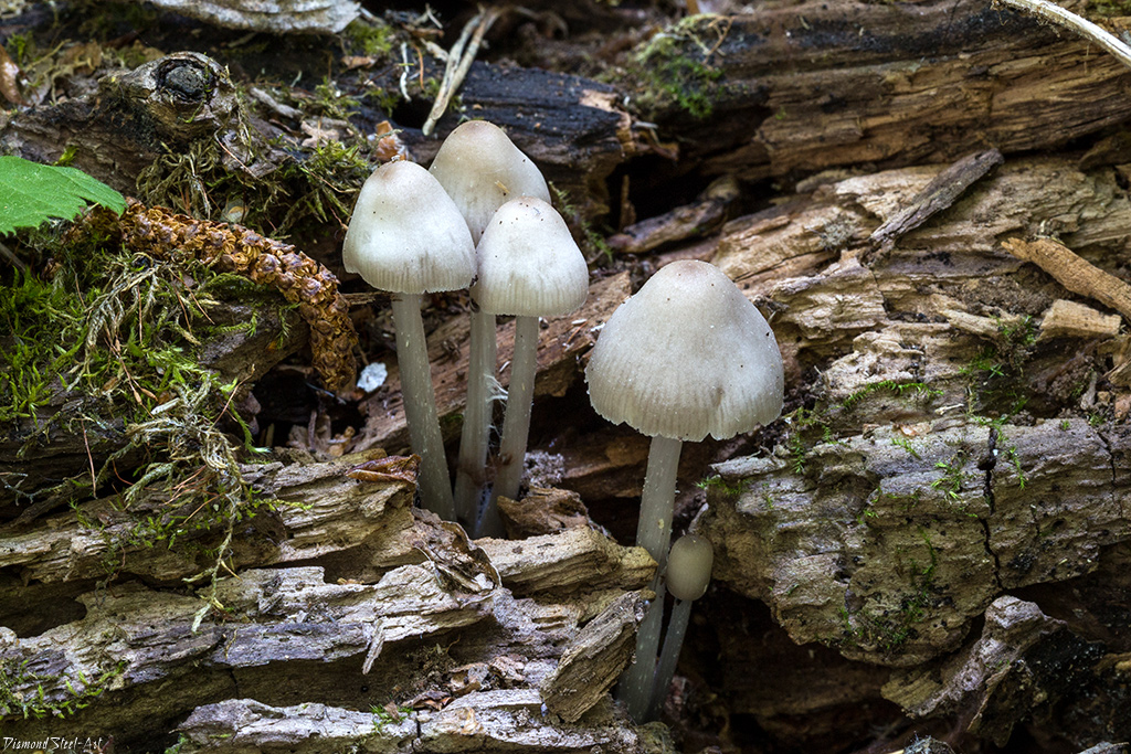 Мицена снежноножковая (Mycena niveipes)