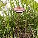 Панеолина сенокосная (Panaeolina foenisecii)