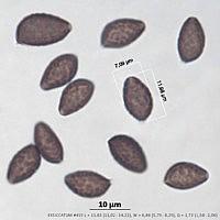 Панеолина сенокосная (Panaeolina foenisecii). Споры.
