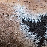 Стекхеринум бахромчатый (Steccherinum fimbriatum)