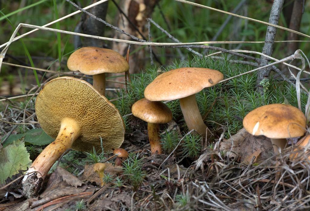 что гриб козляк картинки топор положила