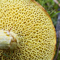 Маслёнок желтоватый (Suillus flavidus)