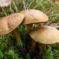 Маслёнок кедровый точечноножковый (Suillus punctipes)