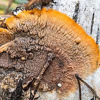 Флебия радиальная (Phlebia radiata)