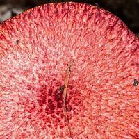 Маслёнок азиатский (Suillus asiaticus)