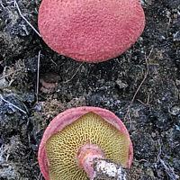 Маслёнок болотный (Suillus paluster)