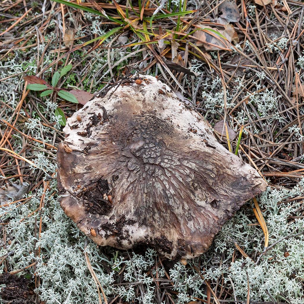 Болетопсис серый (Boletopsis grisea)