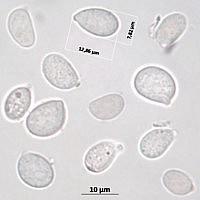 Эритрициум радостный (Erythricium laetum). Споры.