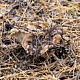 Феллодон сажисто-белый (Phellodon fuligineoalbus)