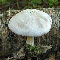Плютей бело-северный (Pluteus leucoborealis)
