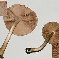 Плютей умбровоподобный (Pluteus umbrosoides)
