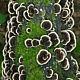 Траметес разноцветный (Trametes versicolor)