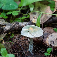 Строфария небесно-синяя (Stropharia caerulea)