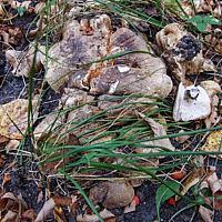 Лиофиллюм скученный (Lyophyllum decastes)