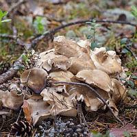 Лиофиллюм дымчато-серый (Lyophyllum fumosum)