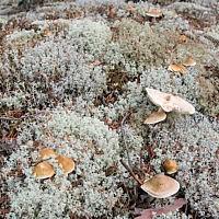Рядовка овернская (Tricholoma arvernense)