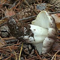 Рядовка серая (Tricholoma portentosum)
