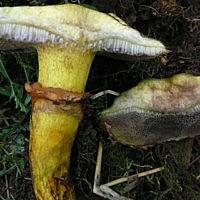 Маслёнок Нюша (Suillus nueschii)