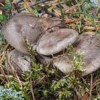 Лиофиллюм симедзи (Lyophyllum shimeji)