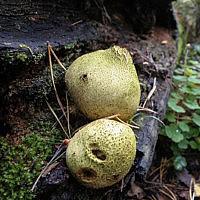 Склеродерма лимонная (Scleroderma citrinum)