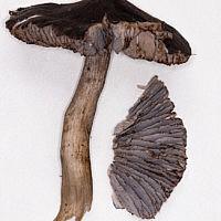 Рядовка боргшёнская (Tricholoma borgsjoeënse)╛