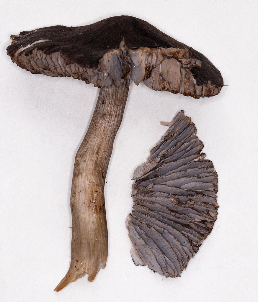 Рядовка боргшёнская (Tricholoma borgsjoeënse)