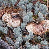 Мацутаке (Tricholoma matsutake)