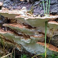 Дихомитус грязнеющий (Dichomitus squalens)