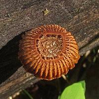 Пилолистник бороздчатый (Heliocybe sulcata)