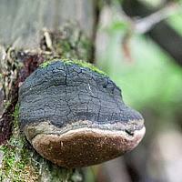 Трутовик ложный обожженный (Phellinus igniarius)