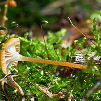 Рикенелла шпенёк (Rickenella fibula)