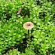 Рикенелла Сварца (Rickenella swartzii)
