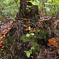 Ксеромфалина колокольчатая (Xeromphalina campanella)