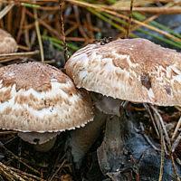 Шампиньон лесной (Agaricus sylvaticus)
