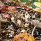 Аррения пельтигеровая (Arrhenia peltigerina)