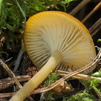 Говорушечка древесинная (Clitocybula lignicola)