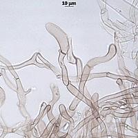 Лепиота Будье (Lepiota boudieri). Пилеипеллис
