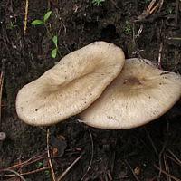 Лиофиллум крупноспоровый (Lyophyllum macrosporum)