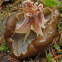 Строчевик круглоспоровый (Pseudorhizina sphaerospora)