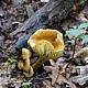 Рядовка серно-жёлтая (Tricholoma sulphureum)