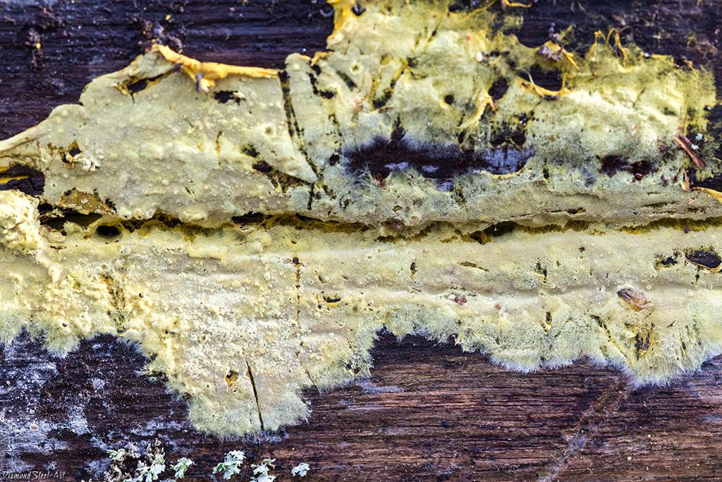 Амфинема ватообразная (Amphinema byssoides)