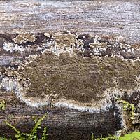Кониофора колодезная (Coniophora puteana)